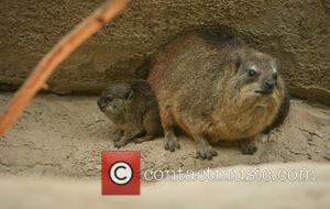 Furry Fab Four Rock, Hyraxes Born and Chester Zoo