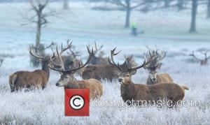 Atmosphere - Wild Deer in Richmond Park on a frozen winter morning. - London, United Kingdom - Thursday 11th February...