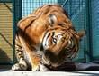 Tiger 327