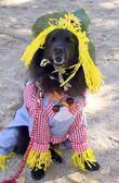 Dog Dressed As A Scarecrow