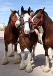 Kat Cockell, Budweiser Clydesdales Tim, Sammy, Sparky