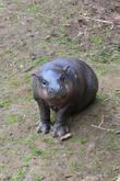 ellen the pygmy hippo is celebrating mother s day t