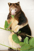 Matchie's Tree Kangaroo With Joey