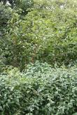 Japanese Knotweed and Primrose Hill