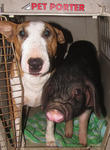 Brad, the Meishan Piglet and Butterbean the Bull Terrier