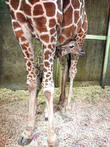 Giraffe Born and Memphis Zoo