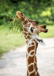 Reticulated Giraffe Nibbles Tuft and Grass