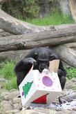 Christmas Comes Early and Taronga's Chimpanzees