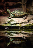 Reflective Turtle Comes Out and Its Shell