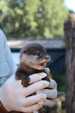 Zoo Welcomes Three Otter and Pups