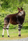 Nashville Zoo's Lesser Spotted, Somewhat Striped and Okapi