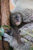 Taronga Celebrates Season's First and Koala Birth