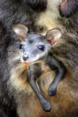 Taronga Welcomes Two Endangered and Wallaby Joeys